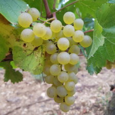 Chardonnay grape variety