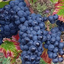Pinot noir grape variety