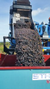 Grape harvesting machine